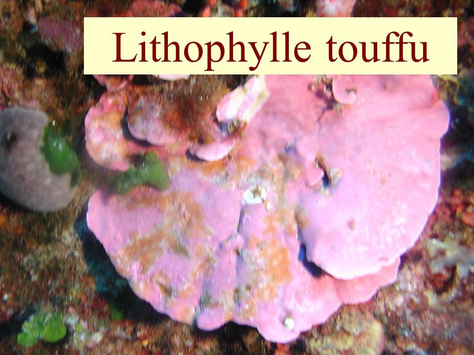 16 Lithophylle touffu