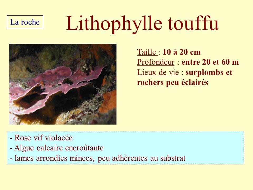 Taille : 10 à 20 cm Profondeur : entre 20 et 60 m Lieux de vie : surplombs et rochers peu éclairés - Rose vif violacée - Algue calcaire encroûtante -