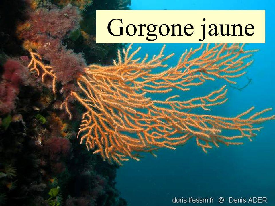 18 Gorgone jaune