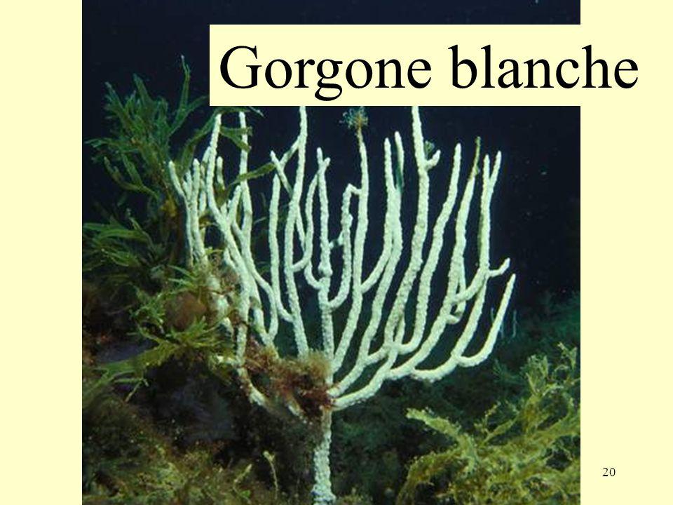 20 Gorgone blanche