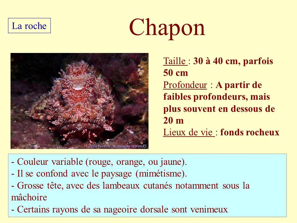 Taille : 30 à 40 cm, parfois 50 cm Profondeur : A partir de faibles profondeurs, mais plus souvent en dessous de 20 m Lieux de vie : fonds rocheux - C