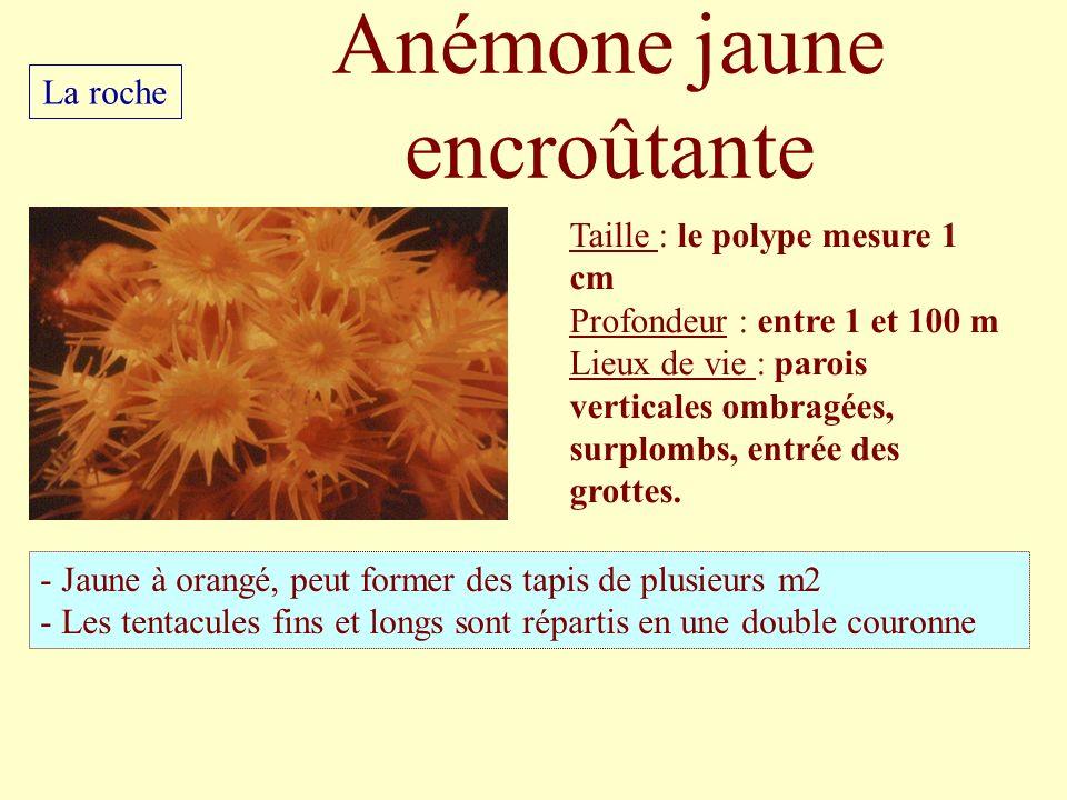 Anémone jaune encroûtante Taille : le polype mesure 1 cm Profondeur : entre 1 et 100 m Lieux de vie : parois verticales ombragées, surplombs, entrée d