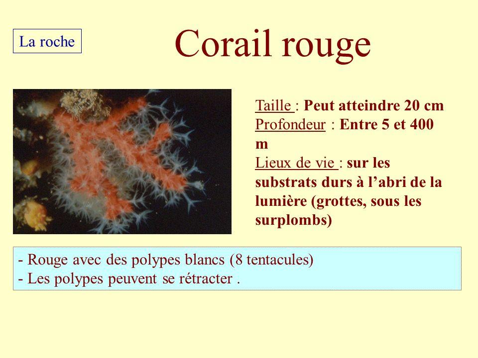 Taille : Peut atteindre 20 cm Profondeur : Entre 5 et 400 m Lieux de vie : sur les substrats durs à labri de la lumière (grottes, sous les surplombs)