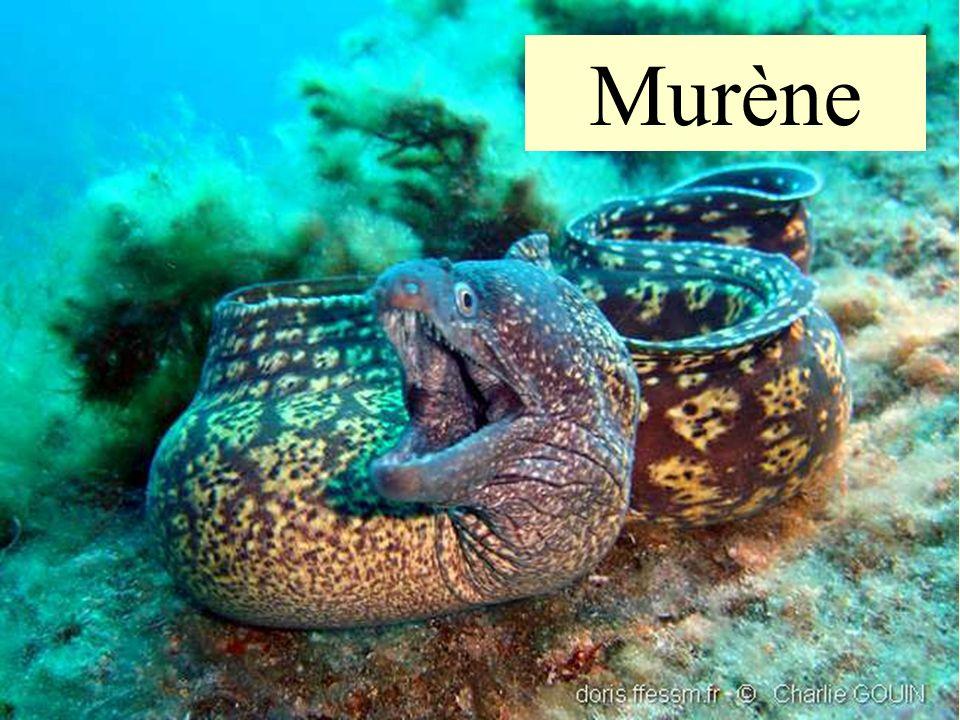 36 Murène