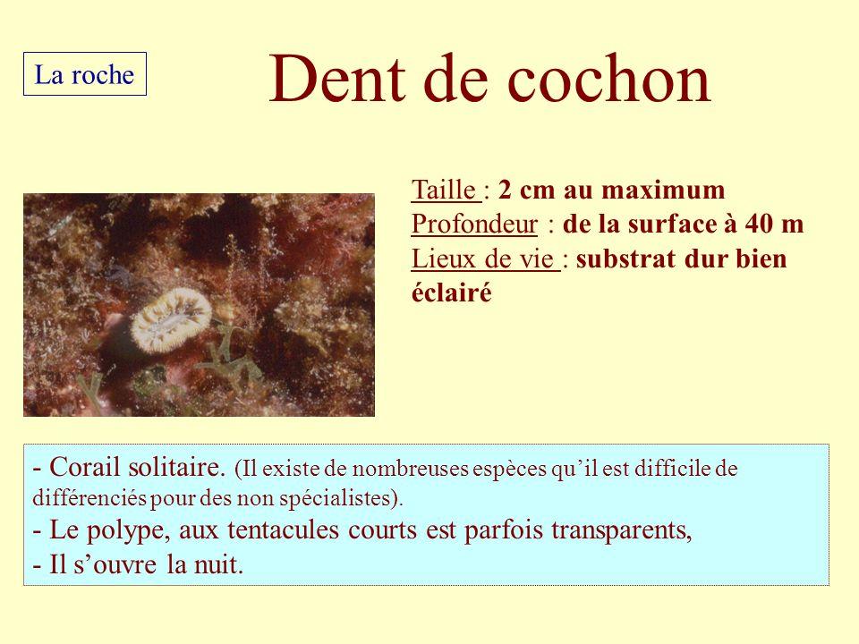 Taille : 2 cm au maximum Profondeur : de la surface à 40 m Lieux de vie : substrat dur bien éclairé - Corail solitaire. (Il existe de nombreuses espèc