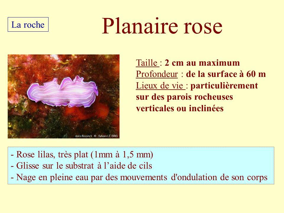 Taille : 2 cm au maximum Profondeur : de la surface à 60 m Lieux de vie : particulièrement sur des parois rocheuses verticales ou inclinées - Rose lil