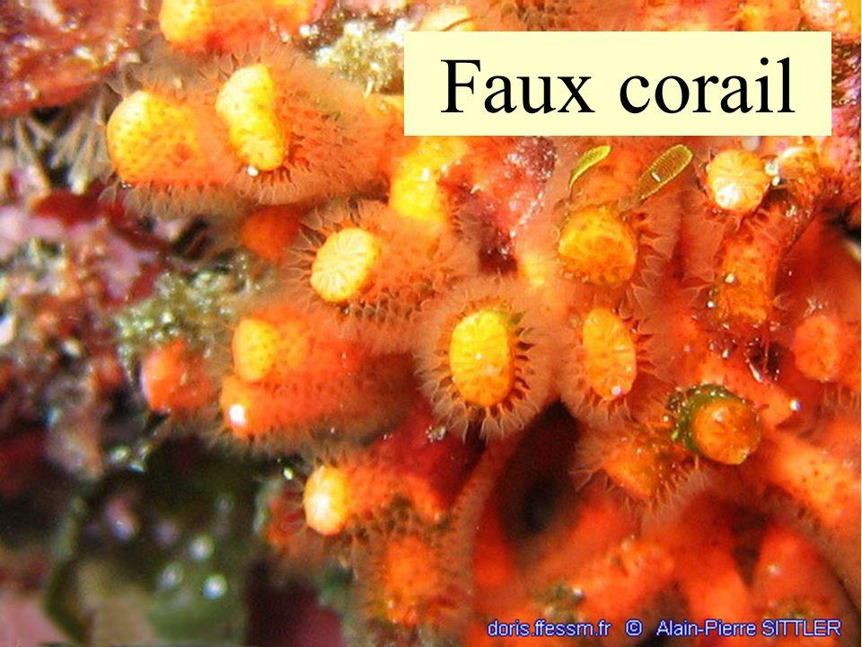 42 Faux corail