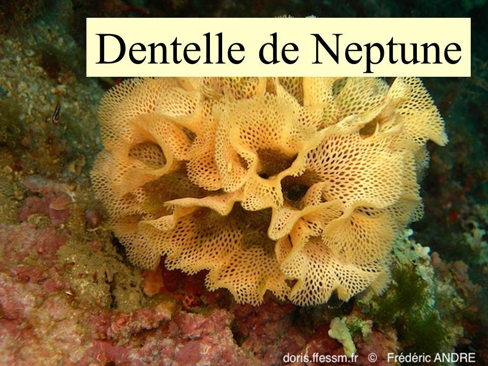 44 Dentelle de Neptune