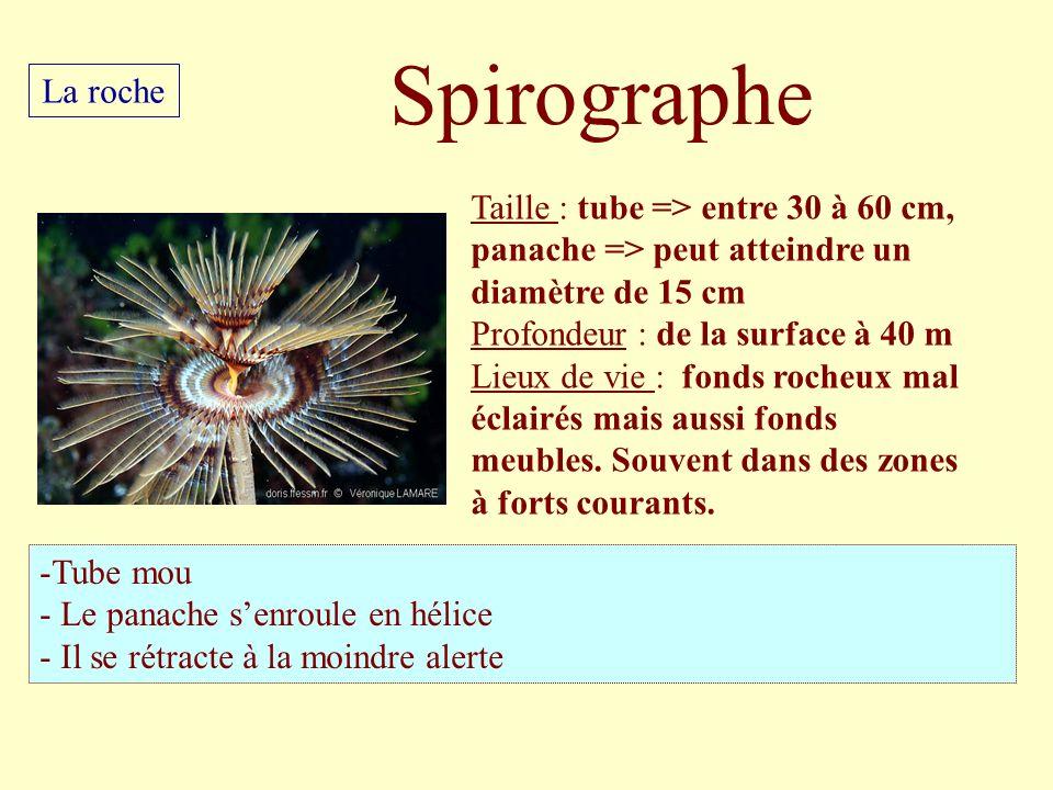 Taille : tube => entre 30 à 60 cm, panache => peut atteindre un diamètre de 15 cm Profondeur : de la surface à 40 m Lieux de vie : fonds rocheux mal é