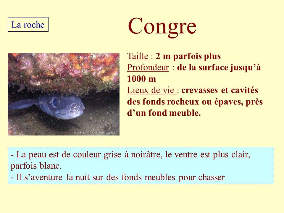 Taille : 2 m parfois plus Profondeur : de la surface jusquà 1000 m Lieux de vie : crevasses et cavités des fonds rocheux ou épaves, près dun fond meub