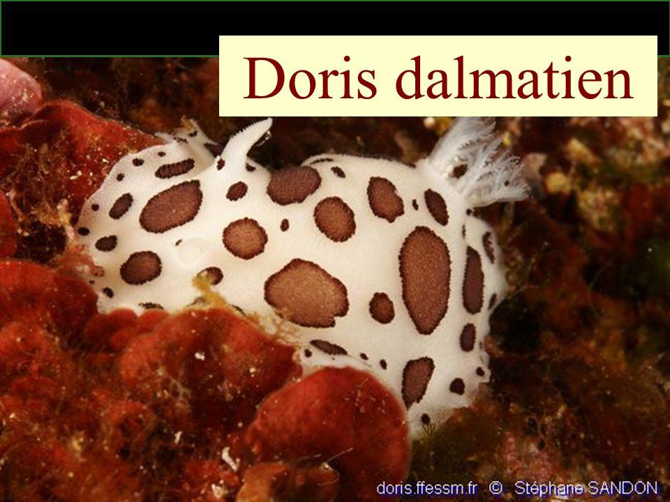 50 Doris dalmatien