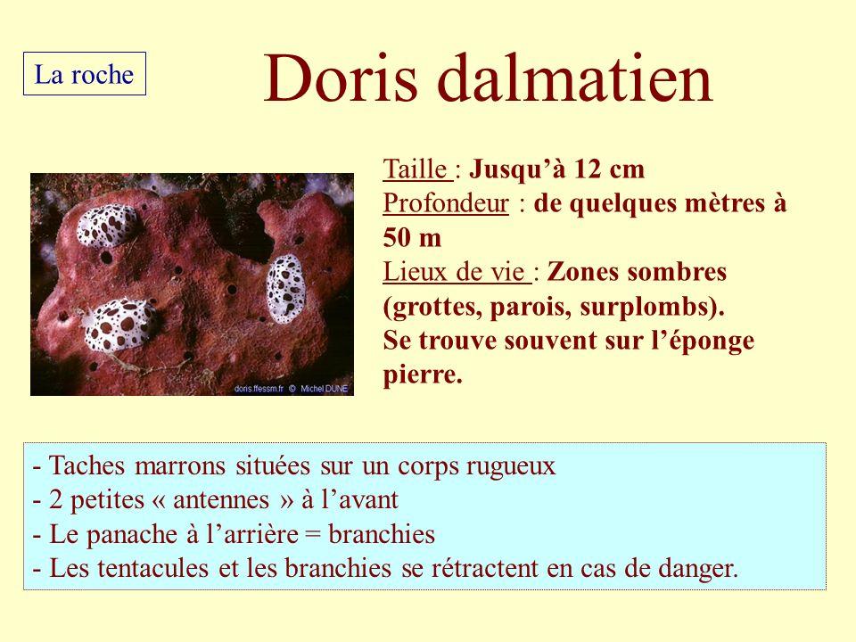 Taille : Jusquà 12 cm Profondeur : de quelques mètres à 50 m Lieux de vie : Zones sombres (grottes, parois, surplombs). Se trouve souvent sur léponge