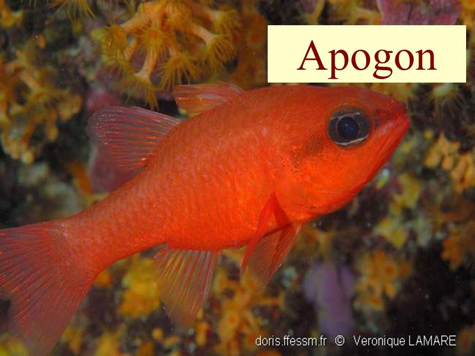 54 Apogon