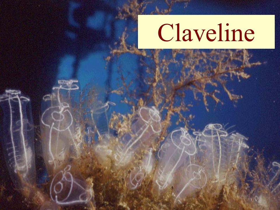 56 Claveline