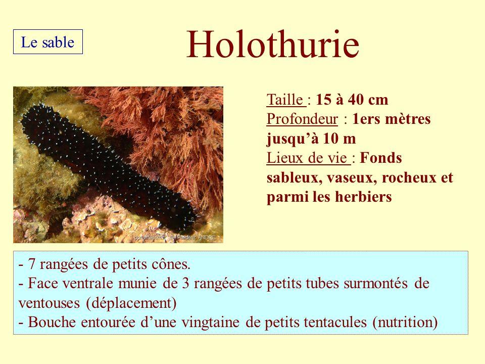 Taille : 15 à 40 cm Profondeur : 1ers mètres jusquà 10 m Lieux de vie : Fonds sableux, vaseux, rocheux et parmi les herbiers - 7 rangées de petits côn