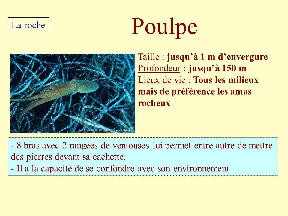 Taille : jusquà 1 m denvergure Profondeur : jusquà 150 m Lieux de vie : Tous les milieux mais de préférence les amas rocheux - 8 bras avec 2 rangées d