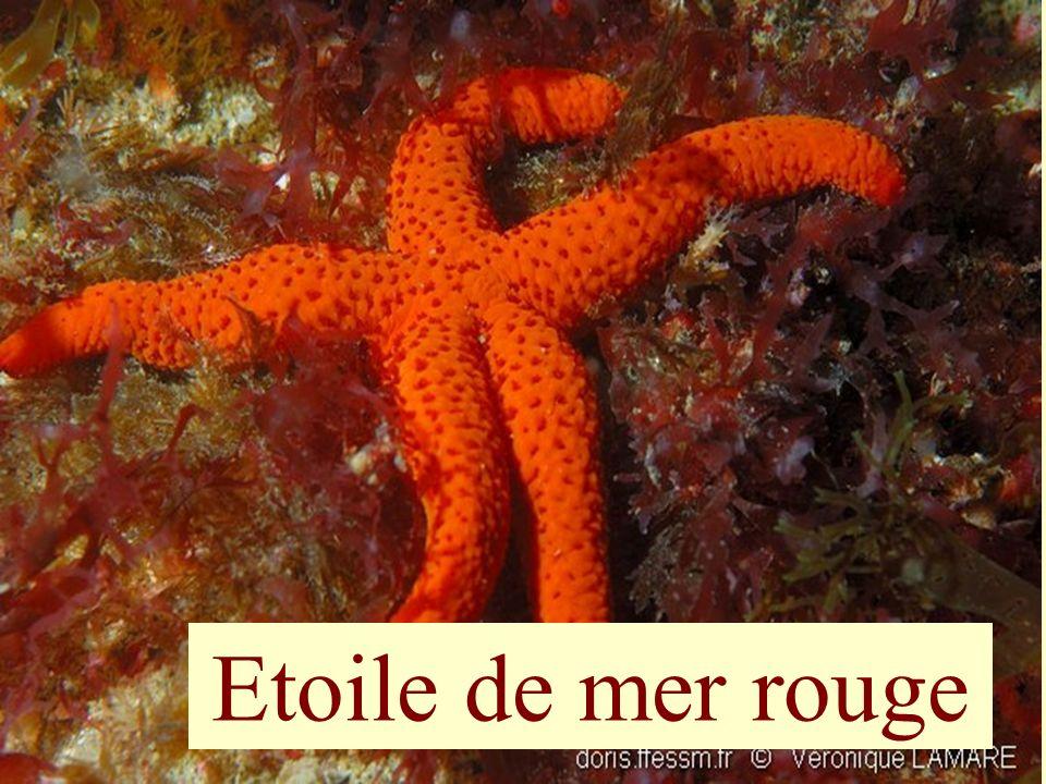 66 Etoile de mer rouge