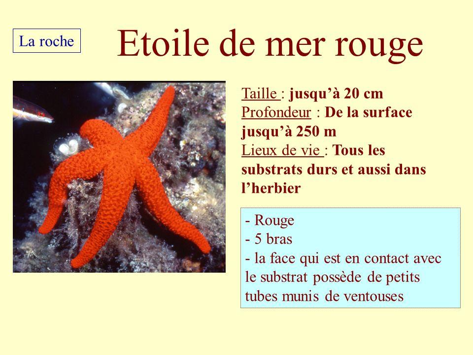 Taille : jusquà 20 cm Profondeur : De la surface jusquà 250 m Lieux de vie : Tous les substrats durs et aussi dans lherbier - Rouge - 5 bras - la face