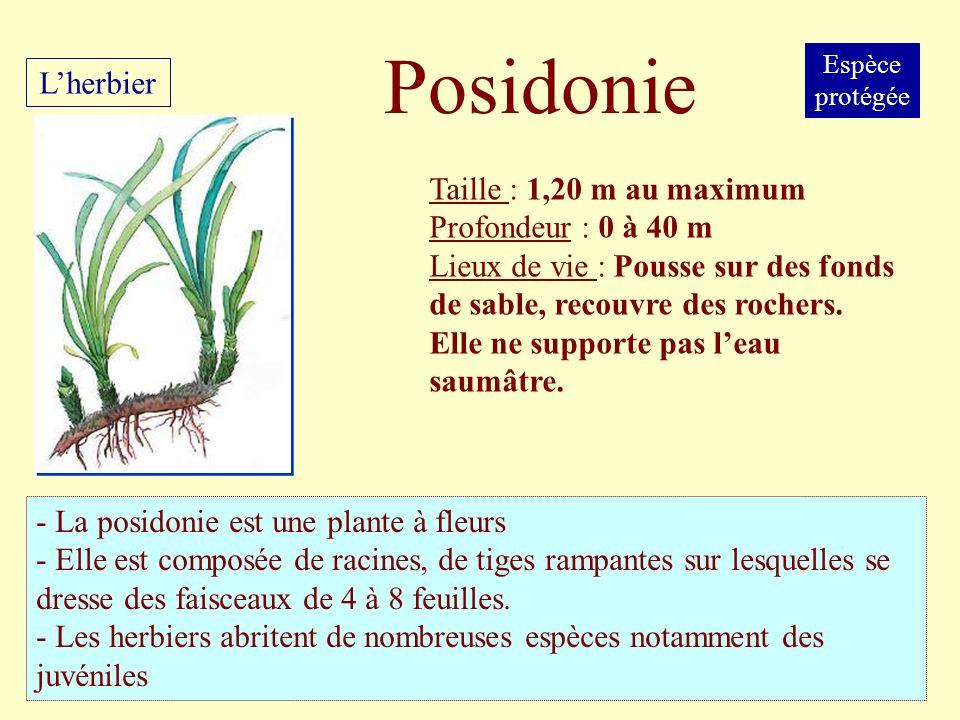 Taille : 1,20 m au maximum Profondeur : 0 à 40 m Lieux de vie : Pousse sur des fonds de sable, recouvre des rochers. Elle ne supporte pas leau saumâtr