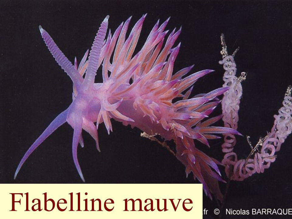 80 Flabelline mauve