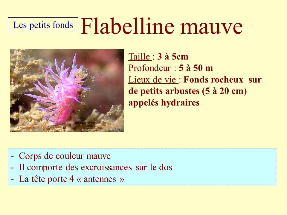 Taille : 3 à 5cm Profondeur : 5 à 50 m Lieux de vie : Fonds rocheux sur de petits arbustes (5 à 20 cm) appelés hydraires - Corps de couleur mauve - Il