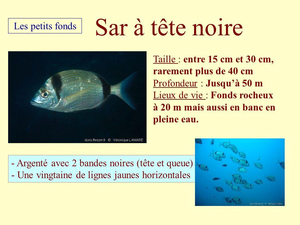 Taille : entre 15 cm et 30 cm, rarement plus de 40 cm Profondeur : Jusquà 50 m Lieux de vie : Fonds rocheux à 20 m mais aussi en banc en pleine eau. -
