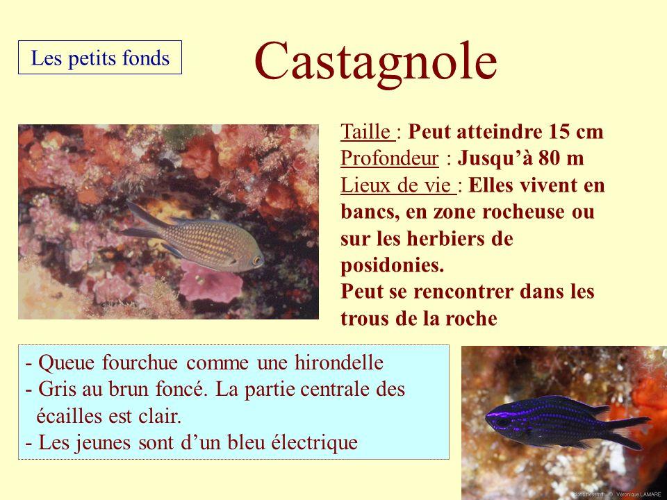 Taille : Peut atteindre 15 cm Profondeur : Jusquà 80 m Lieux de vie : Elles vivent en bancs, en zone rocheuse ou sur les herbiers de posidonies. Peut