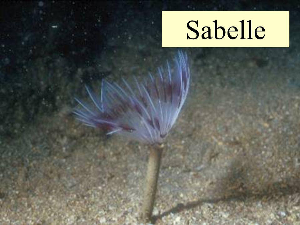 Taille : 15 à 25 cm Profondeur : 1ers mètres jusquà 25 m Lieux de vie : Le tube est enfoncé de 10 cm dans le sable parfois mélangé de vase et de cailloux - Le panache est divisé en 2 demi couronnes - Il est composé de filaments, qui présentent des zones de taches ou des bandes de couleur variée Le sable