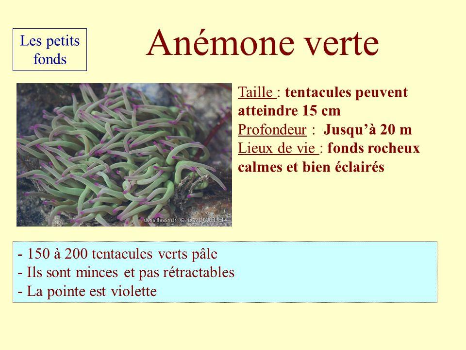 Taille : tentacules peuvent atteindre 15 cm Profondeur : Jusquà 20 m Lieux de vie : fonds rocheux calmes et bien éclairés - 150 à 200 tentacules verts