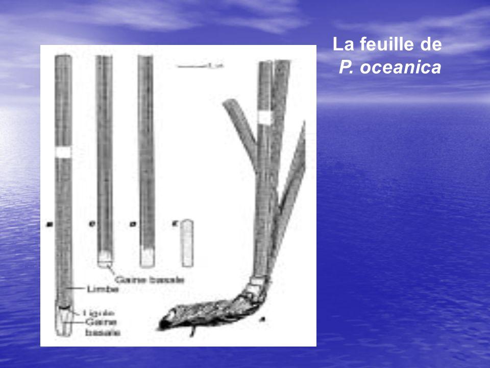 -Le limbe est caduc, -La gaine basale reste fixée au rhizome. 0n lui donne alors le nom décaille. Les écailles sont peu putrescibles, et se conservent
