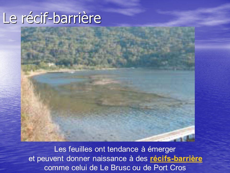 Les feuilles ont tendance à émerger et peuvent donner naissance à des récifs-barrièrerécifs-barrière comme celui de Le Brusc ou de Port Cros Le récif-