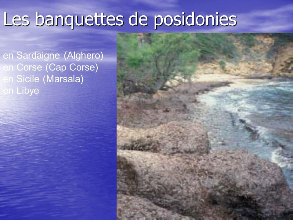 Les banquettes de posidonies en Sardaigne (Alghero) en Corse (Cap Corse) en Sicile (Marsala) en Libye