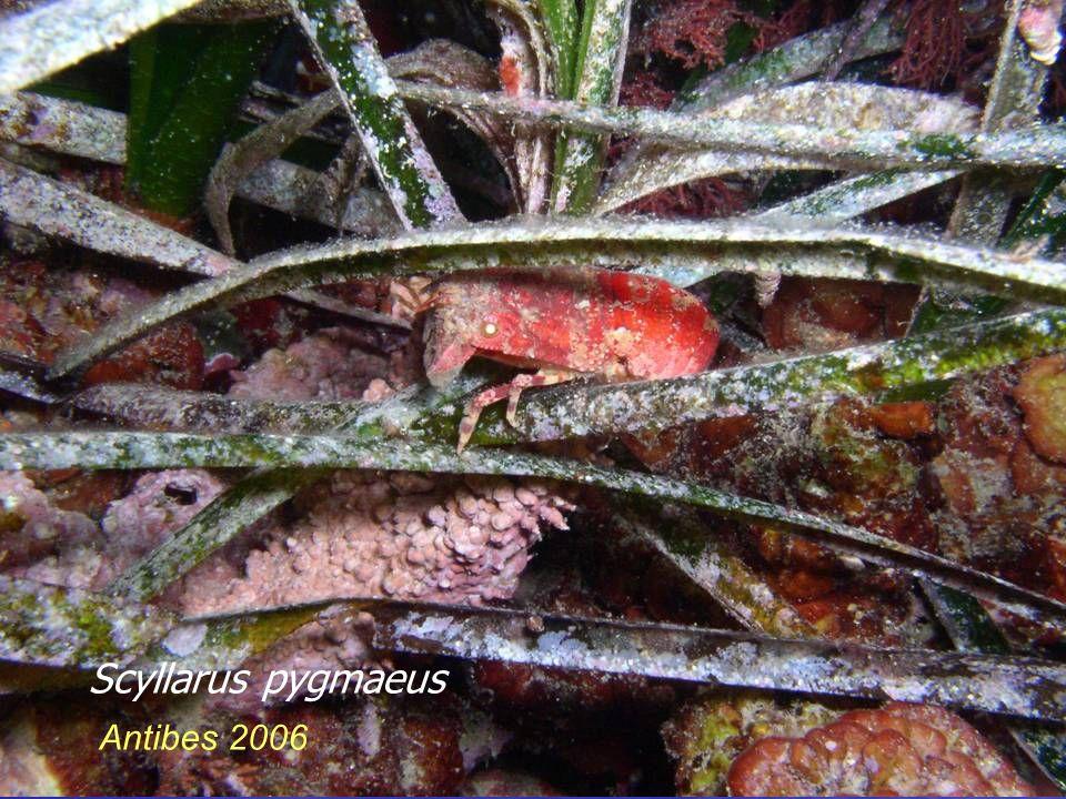 Antibes 2006 Scyllarus pygmaeus