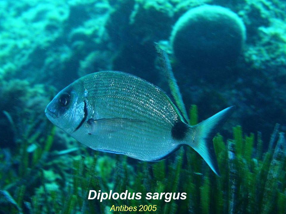 Antibes 2005 Diplodus sargus