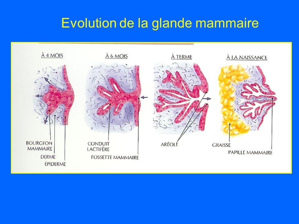 Evolution de la glande mammaire