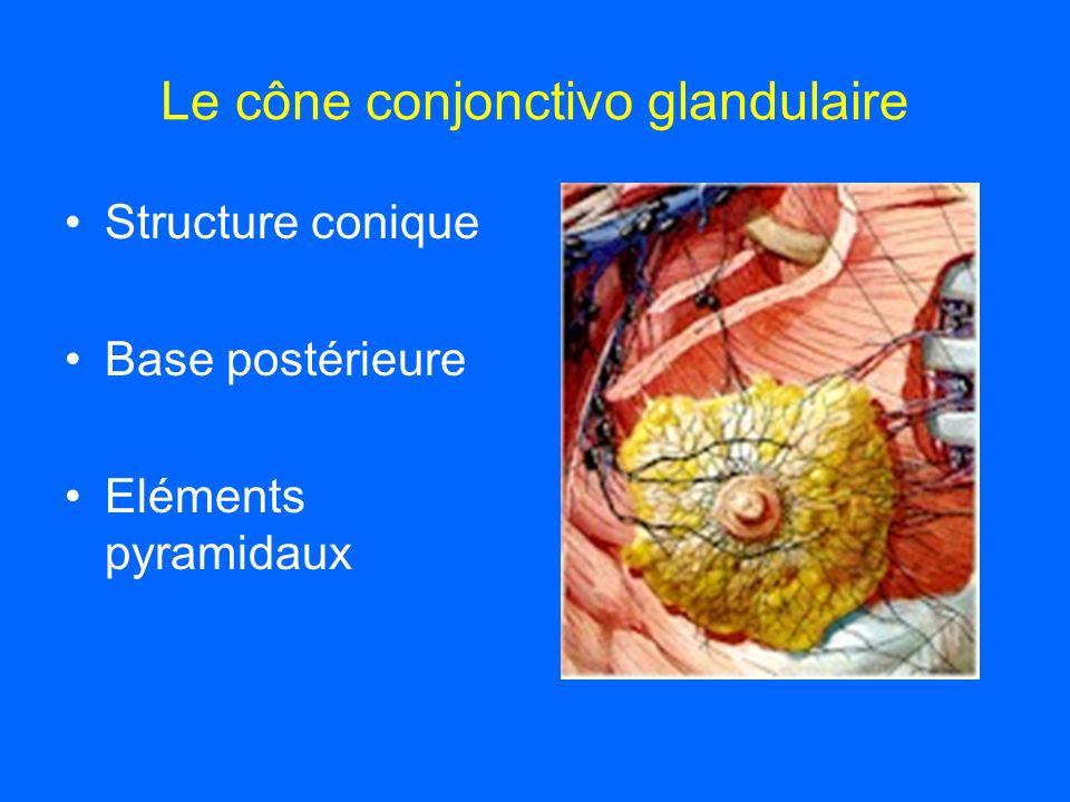 Le cône conjonctivo glandulaire Structure conique Base postérieure Eléments pyramidaux