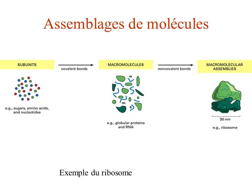 Assemblages de molécules Exemple du ribosome