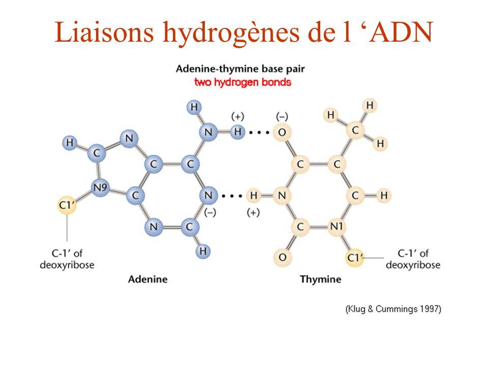 Liaisons hydrogènes de l ADN