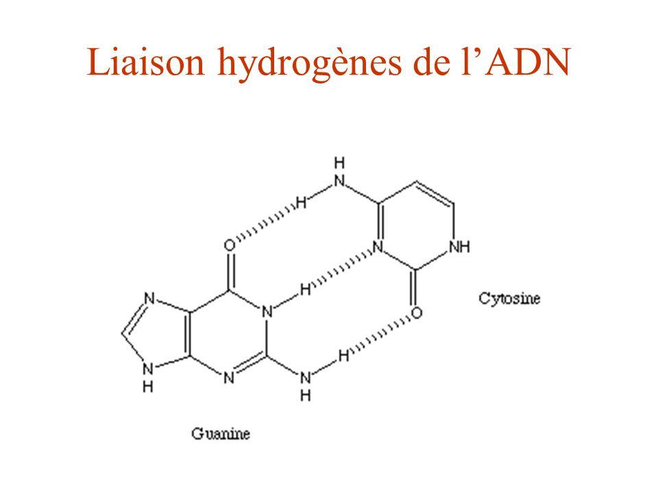 Liaison hydrogènes de lADN
