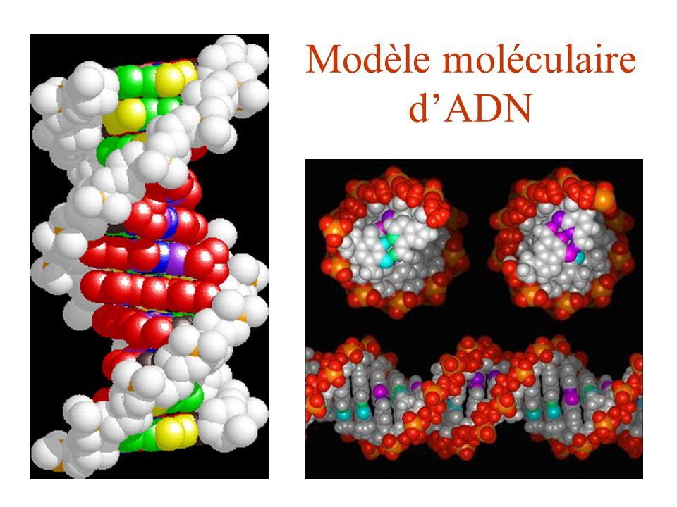 Modèle moléculaire dADN