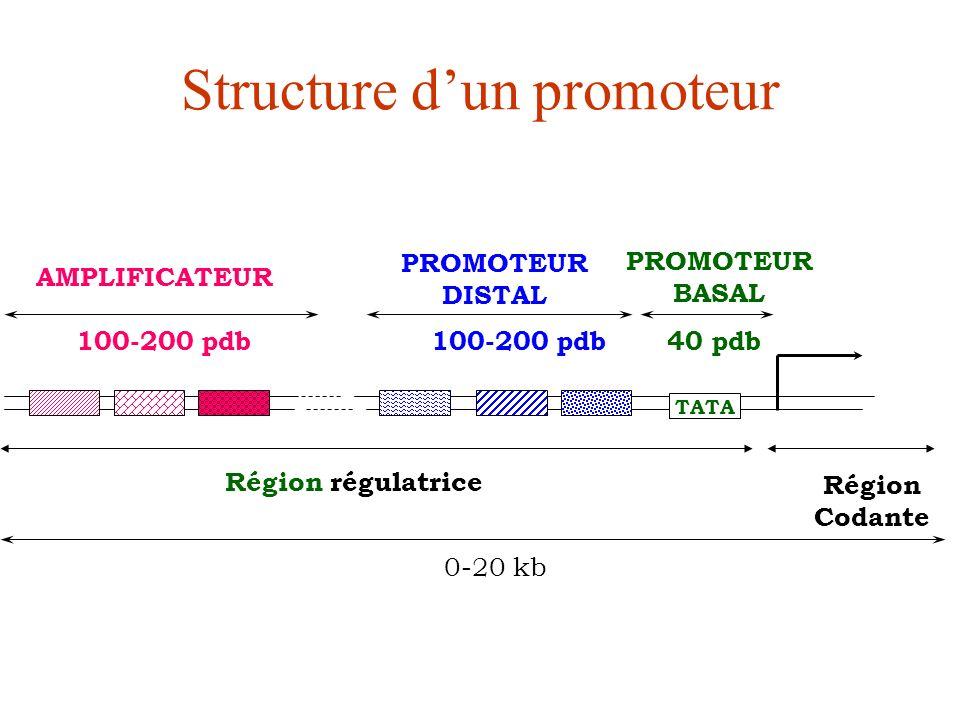 TATA AMPLIFICATEUR PROMOTEUR BASAL 100-200 pdb 40 pdb 0-20 kb Structure dun promoteur PROMOTEUR DISTAL Région régulatrice Région Codante