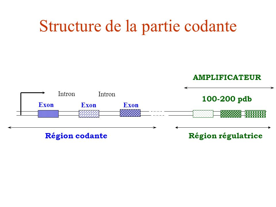 Structure de la partie codante AMPLIFICATEUR 100-200 pdb Région régulatriceRégion codante Exon Intron