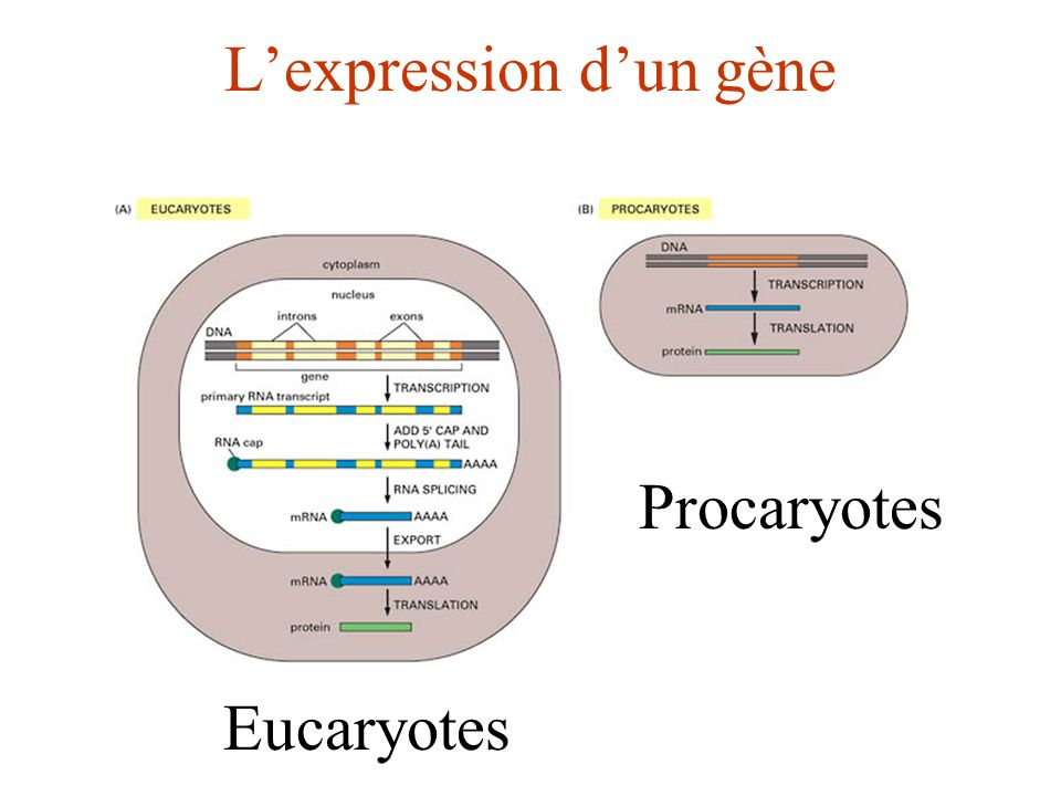 Lexpression dun gène Eucaryotes Procaryotes