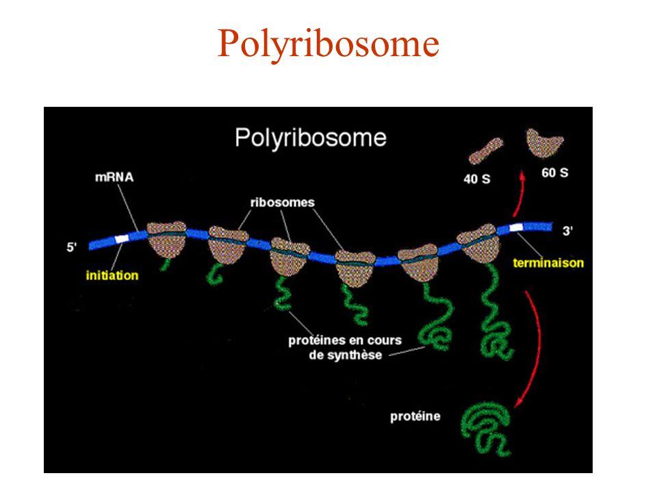 Polyribosome