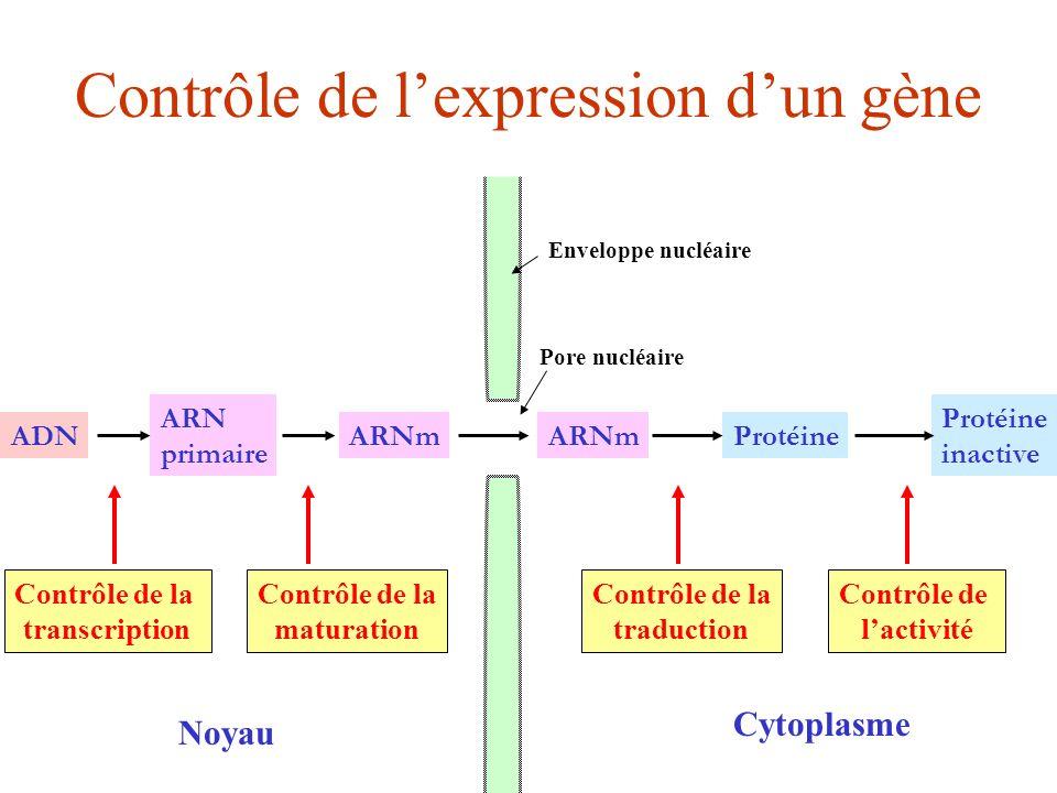 Contrôle de lexpression dun gène ADN ARN primaire ARNm Protéine inactive Noyau Cytoplasme Contrôle de la transcription Contrôle de la maturation Contr