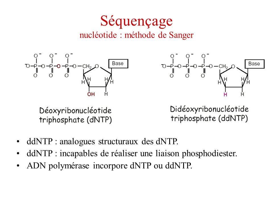 Séquençage nucléotide : méthode de Sanger ddNTP : analogues structuraux des dNTP. ddNTP : incapables de réaliser une liaison phosphodiester. ADN polym