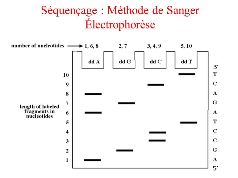 Séquençage : Méthode de Sanger Électrophorèse
