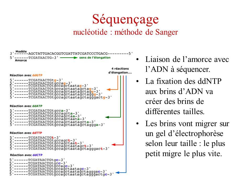 Séquençage nucléotide : méthode de Sanger Liaison de lamorce avec lADN à séquencer. La fixation des ddNTP aux brins dADN va créer des brins de différe