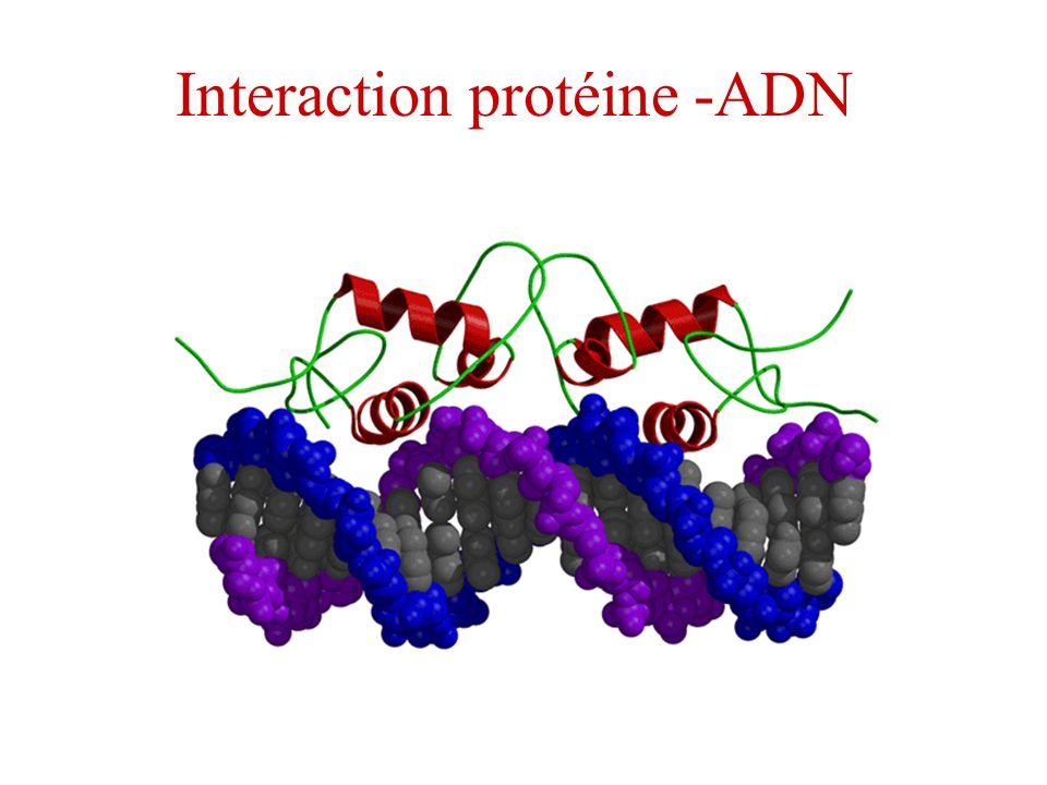 Interaction protéine -ADN