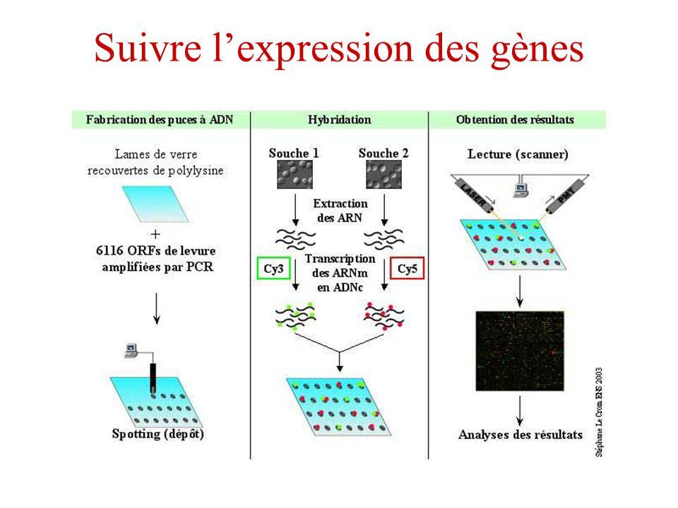 Suivre lexpression des gènes